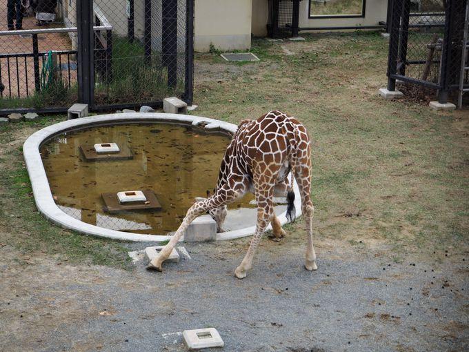 そういえば初めて見る?!キリンが水を飲む姿!