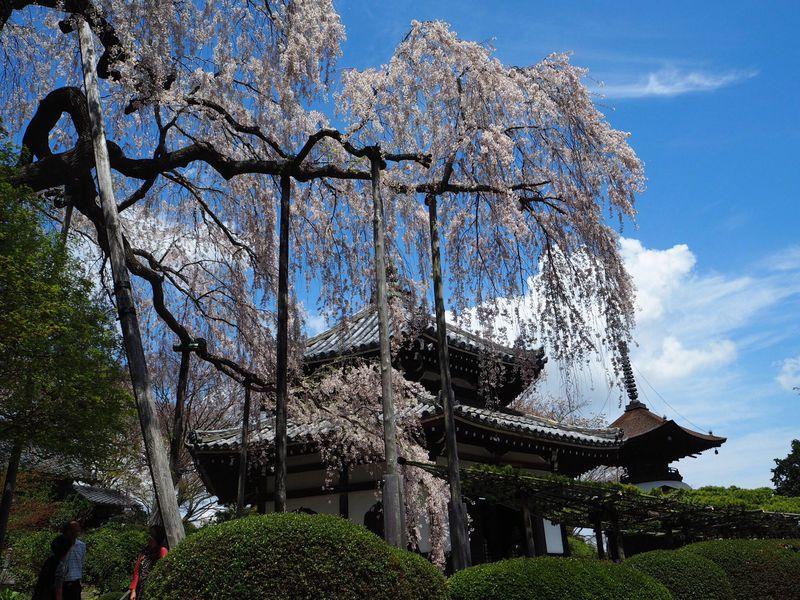 この桜に会いたい!桂昌院しだれ桜・京都西山「善峯寺」