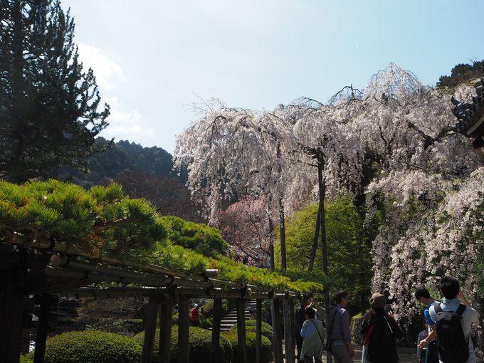 はるばる会いに行きたい春の主役!「桂昌院しだれ桜」