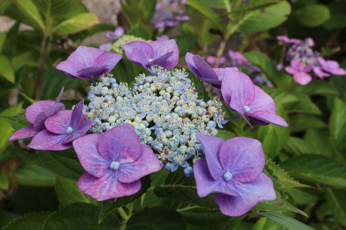 数種のガクアジサイも。沙羅の花や青モミジも素晴らしい