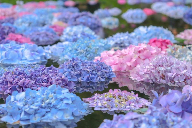 ふわふわ漂う幻想的なあじさい!「久安寺」大阪・池田市の花の寺