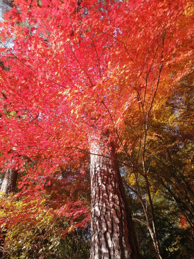 情熱的な赤、外来種の紅葉も楽しめるのもお勧めポイント!