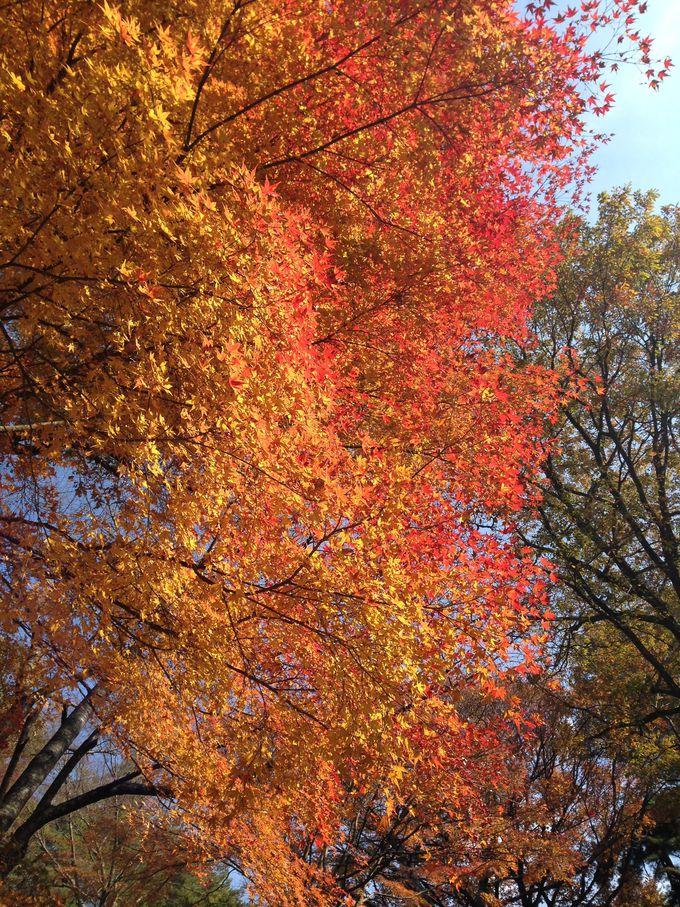 神戸市立森林植物園は特に秋がおススメ!約3000本が紅葉!