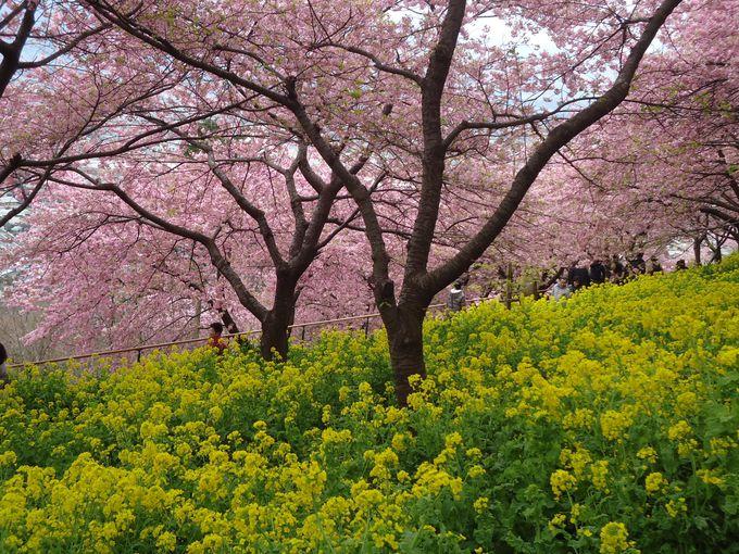 斜面に植えられた効果!視界いっぱいに広がる河津桜