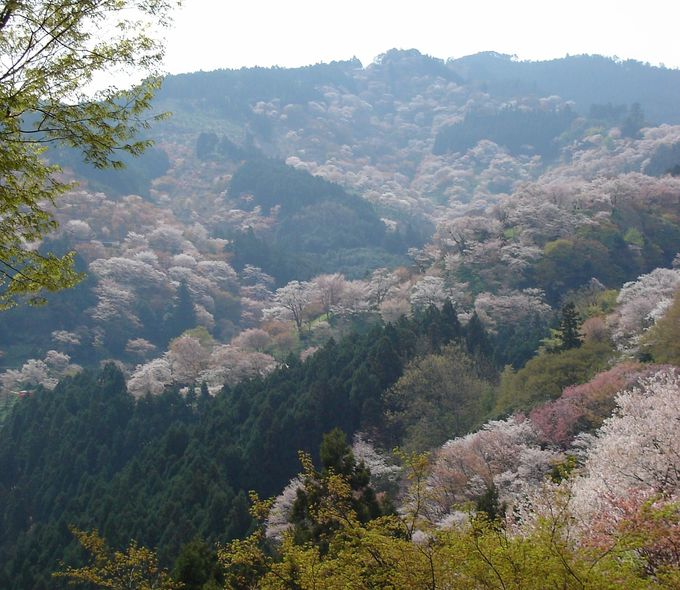 古くから名所として知られる吉野山の桜