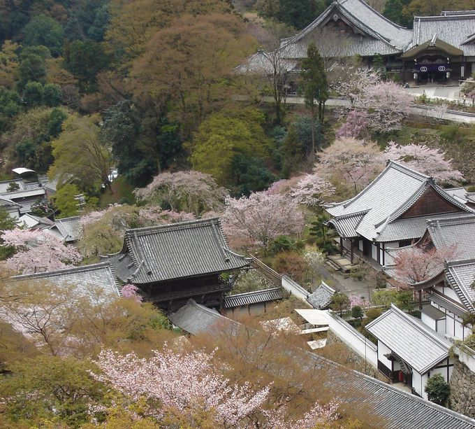 境内が桜で彩られる長谷寺
