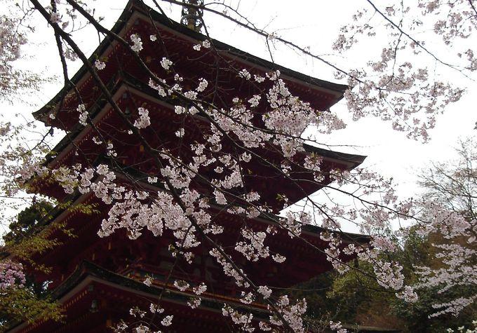 古寺+桜 これぞ奈良の春!