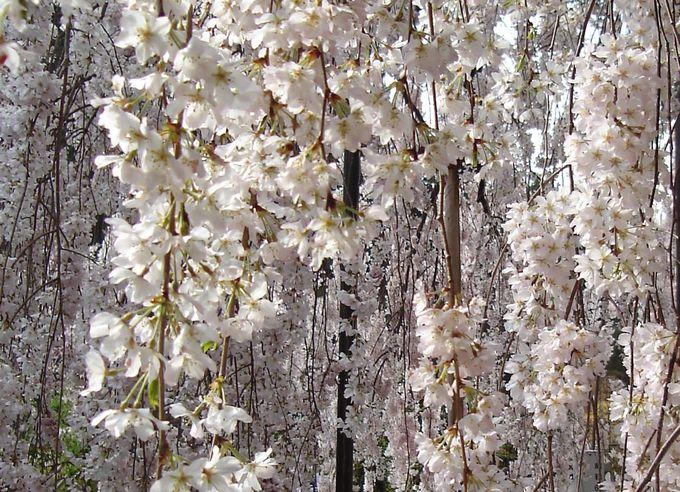 この枝垂桜は見事!百花繚乱の大野寺
