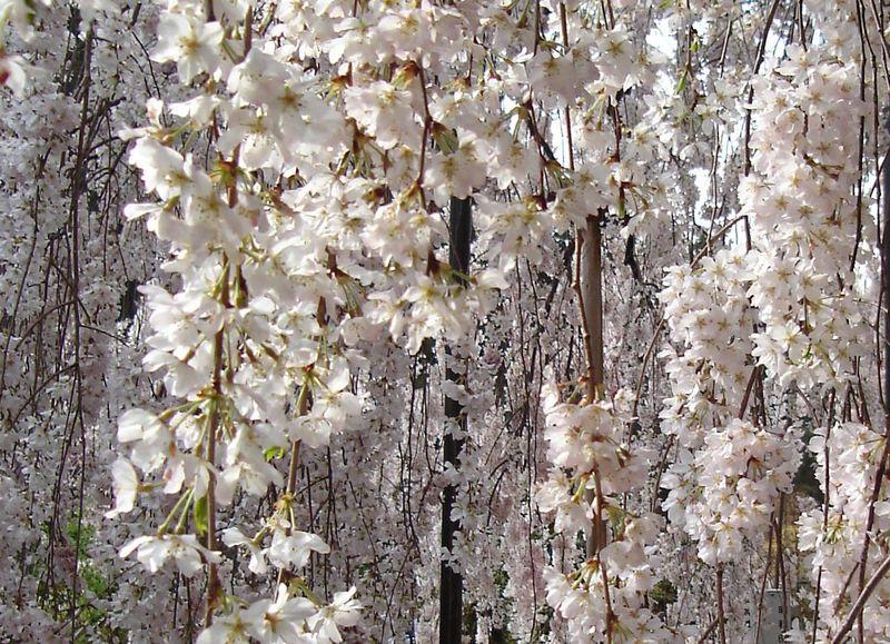 しだれ桜の名所 通が勧めるスポット 京都・東京ほか15選