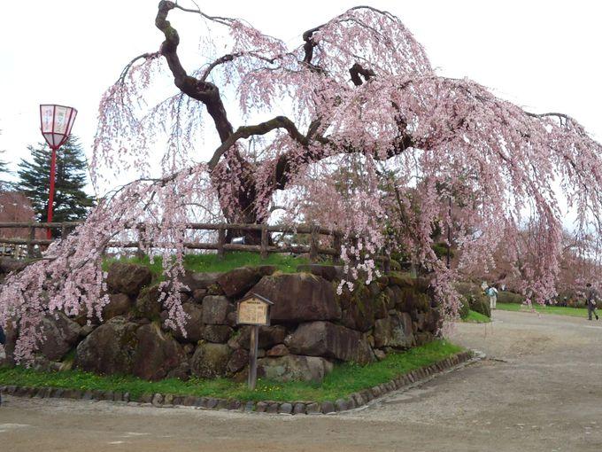 弘前城の桜が美しいその秘訣は青森名産のりんご