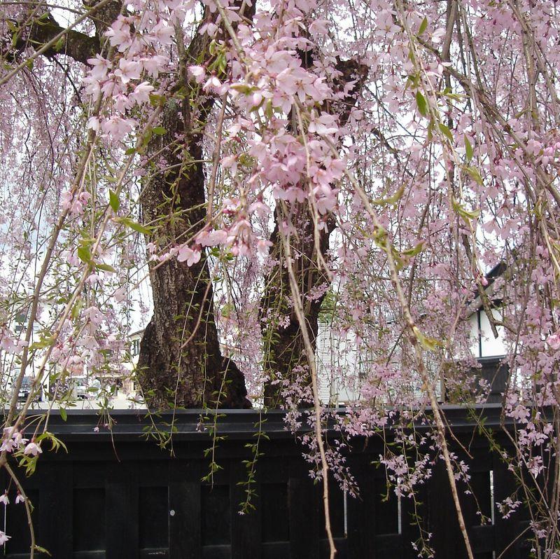 桜花爛漫・秋田角館の2kmに渡る桜のトンネルと400本の枝垂れ桜