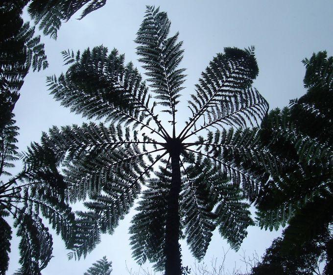 金作原原生林のシンボル「ヒカゲヘゴ」