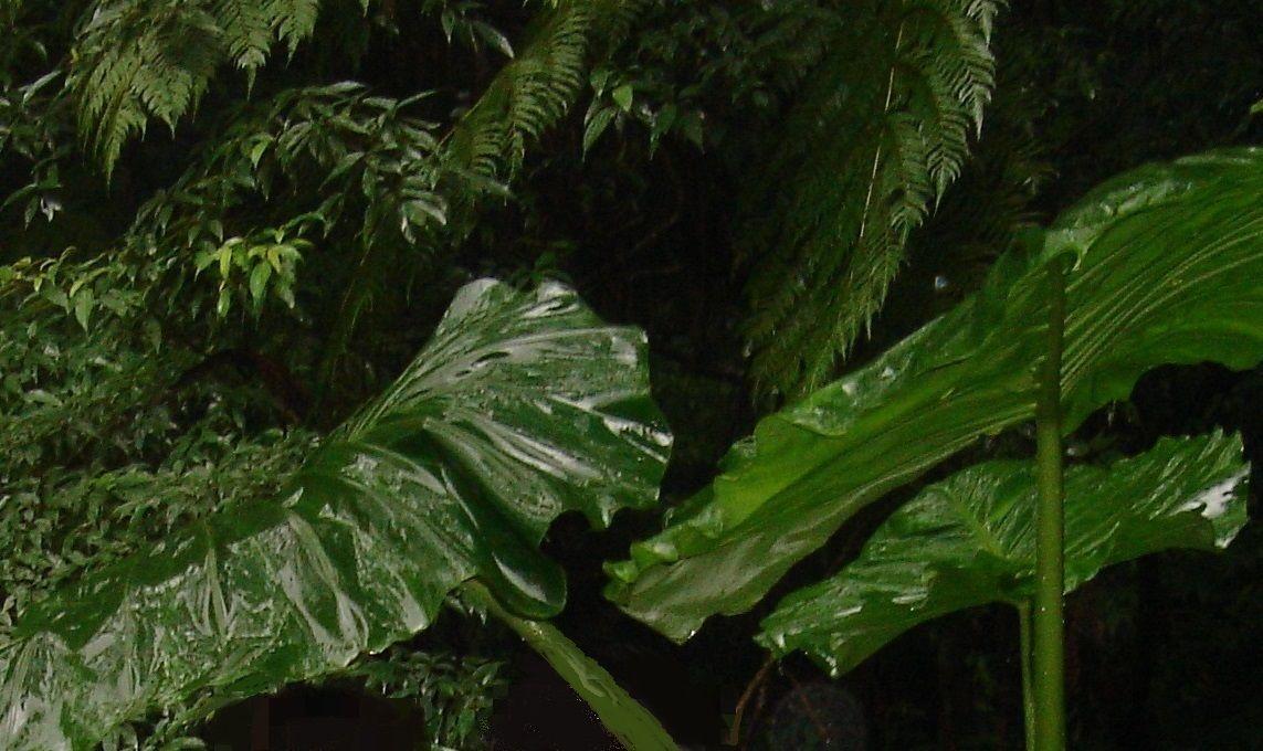 トトロの葉っぱの傘のモデル「クワズイモ」