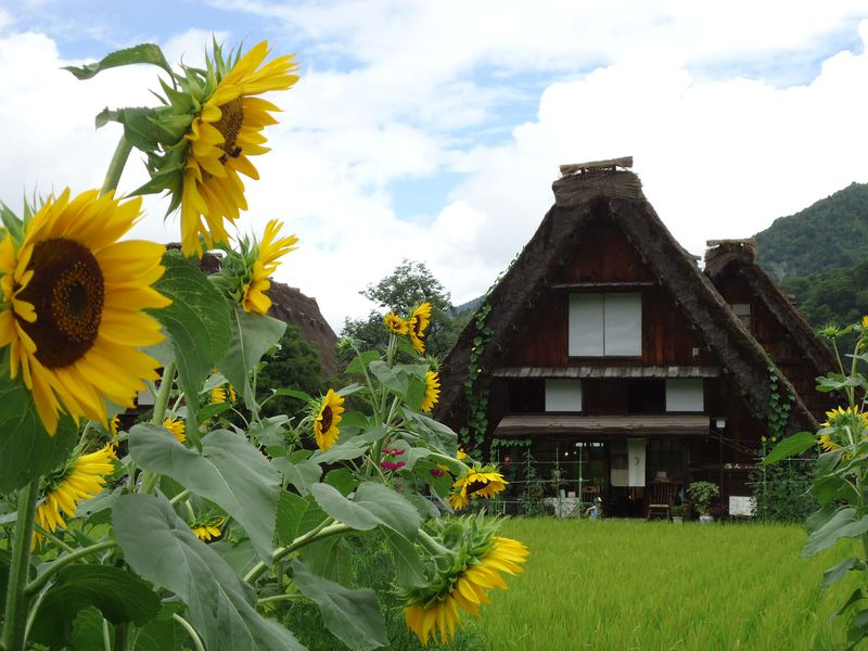 自然の豊かな色彩と合掌造りの調和が美しい、夏の白川郷