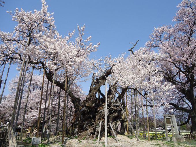 日本武尊が植えたと伝わる山高神代桜