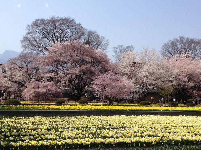 お寺の門前通りの塀越しに見えるラッパ水仙と桜の景色