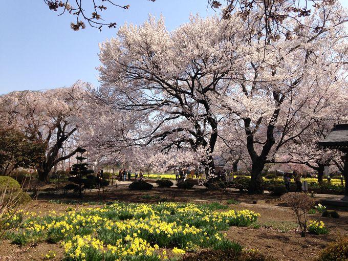 日本の名桜の子孫が集う夢のような境内