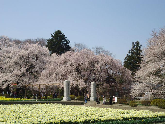 水仙畑と桜並木に挟まれた参道