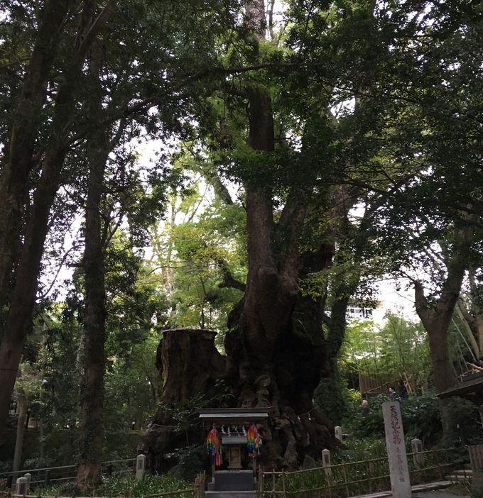 神威に溢れる大楠のご神木は来宮神社一のパワースポット