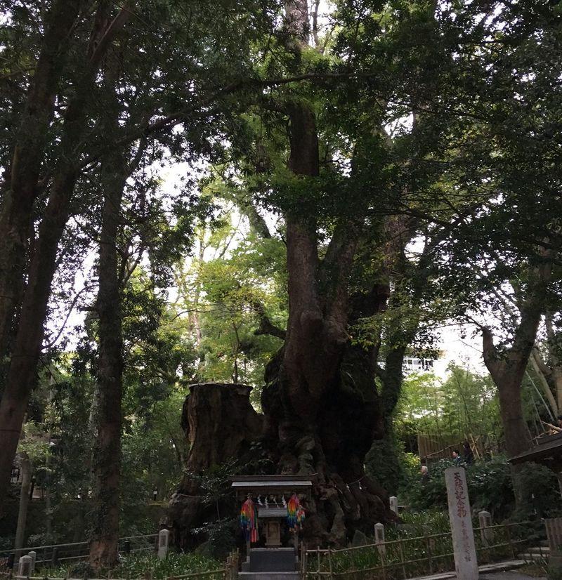 神が宿る大楠を崇める古来のパワースポット、熱海・来宮神社