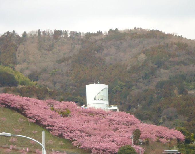 都心からアクセスの良い河津桜の名所