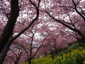 斜面に広がる真っピンク!神奈川県松田町西平畑公園の河津桜が圧巻!