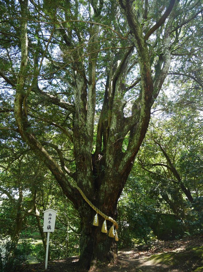 生命力に満ち溢れた、樹齢500年のご神木