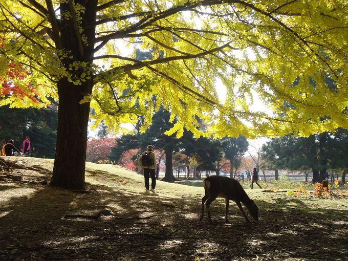 物思いに耽りたい!金色に輝く銀杏と鹿のいる景色