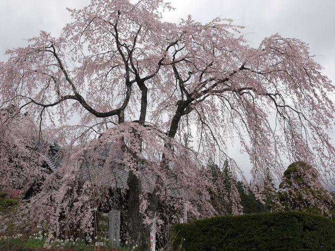 まるで鳳凰が羽を広げたかのような枝垂桜がお出迎え
