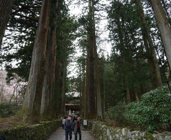 光苔が自生する、厳かな杉並木の参道