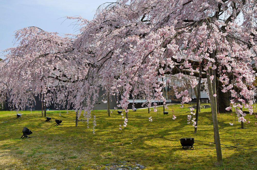 花の醍醐と霊宝館の巨大しだれ桜