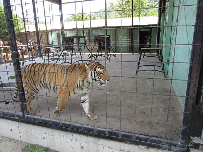 しろとり動物園の自由すぎる点 その4 猛獣でさえかなり自由?!