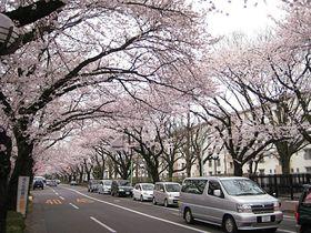 """""""駅花見""""という新たなスタイル?!東京・国立駅で桜を見よう!"""