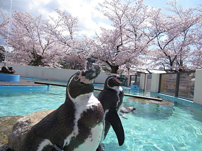 桜と動物を一枚の写真に!桜にペンギン