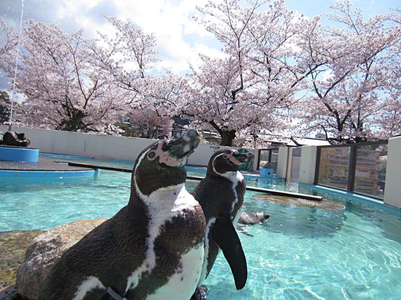 動物園でお花見!?大人も子供も楽しめる!京都市動物園