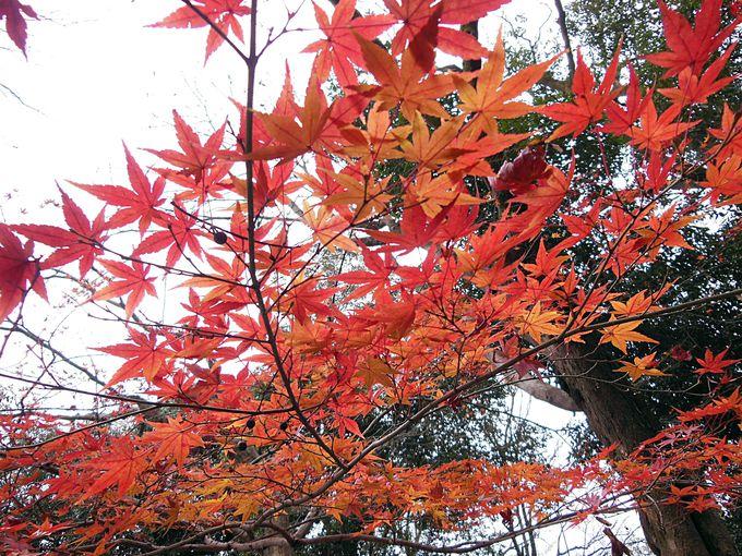 糺の森の紅葉の見頃はいつ?