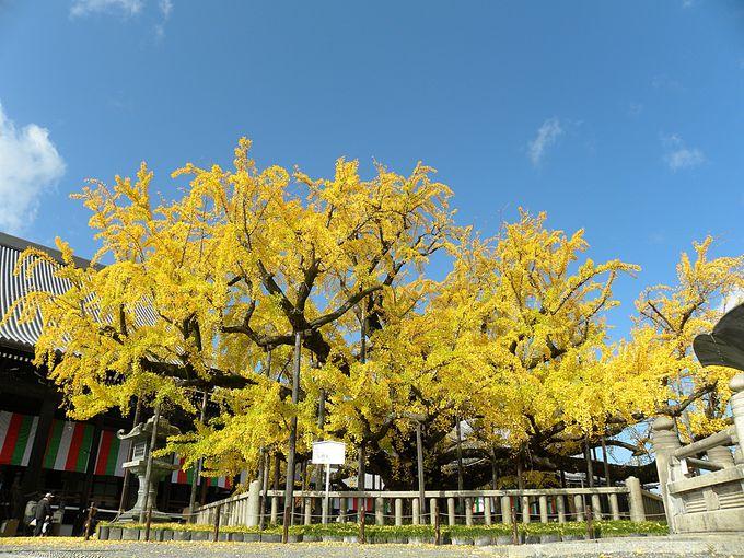 西本願寺の水吹き銀杏