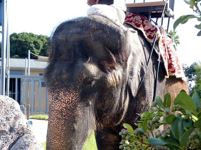 エレファントライドで象にも乗れちゃう!