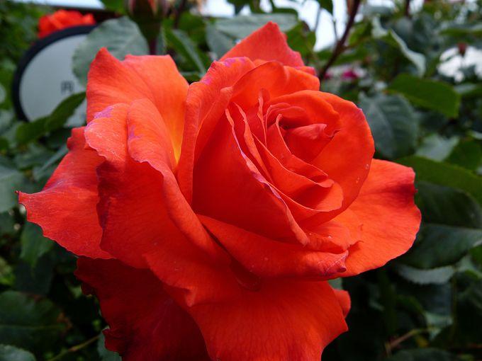 ひらパーの多品種のバラ
