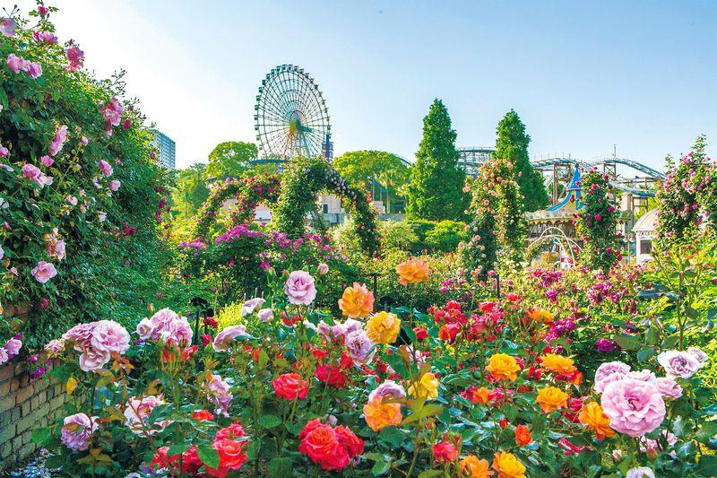 大阪のバラの名所は遊園地!ひらパー「ローズフェスティバル」