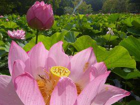 早起きしてハスの花と象鼻杯?大阪・万博公園の早朝観蓮会