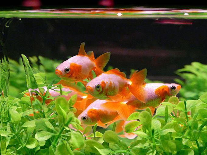 金魚にも注目