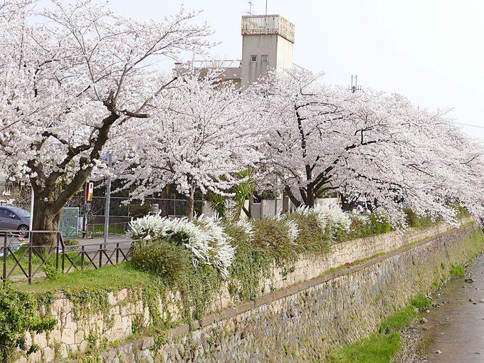 少し穴場な桜のある川