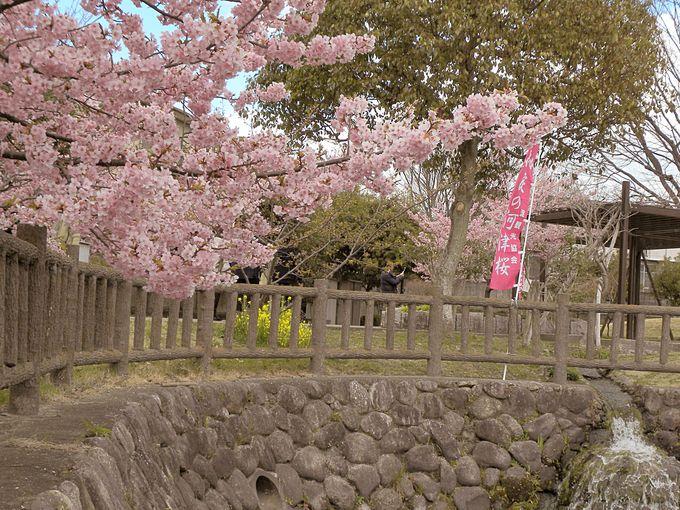 京都の河津桜といえば淀水路