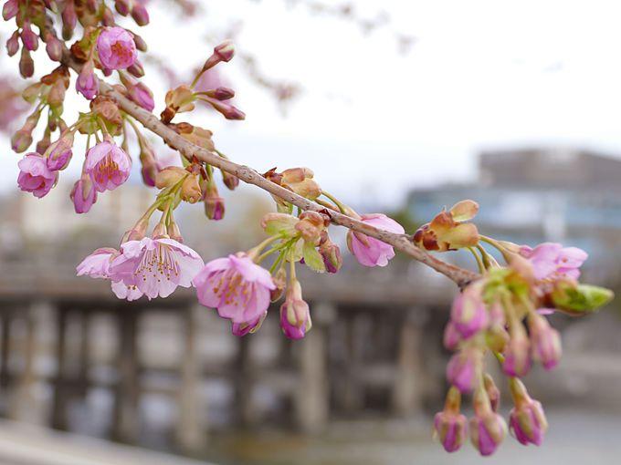 三条大橋の河津桜