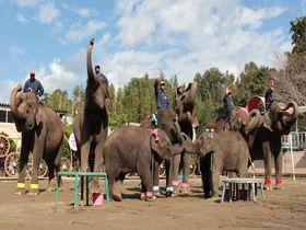 ゾウ、ぞう、象。国内最多飼育の千葉「市原ぞうの国」がスゴい