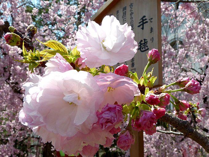 桜の通り抜けの多彩な桜の品種 その2 手毬