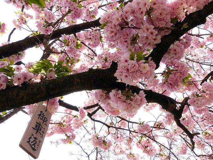 桜の通り抜けの多彩な桜の品種 その1 御衣黄