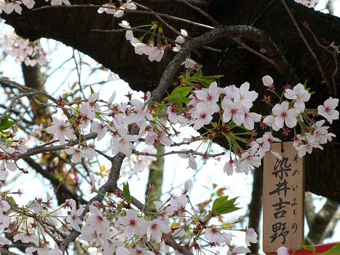 """通な楽しみ方は""""今年の花""""探し"""