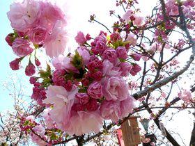 大阪の桜の定番!造幣局の桜の通り抜けは珍しい品種いっぱい